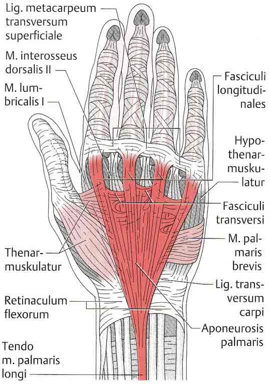 Wunderbar Hand Muskeln Und Sehnen Fotos - Anatomie Von Menschlichen ...